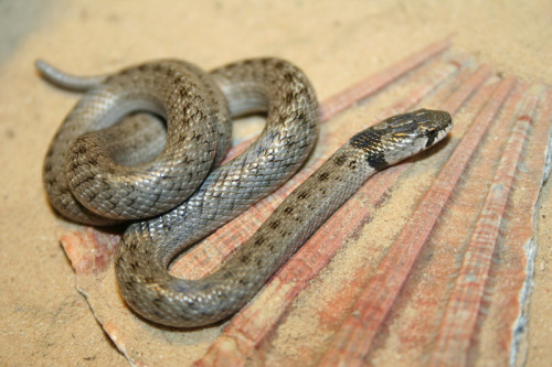 False Smooth Snake slange Spania