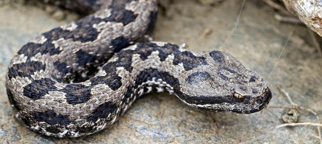 Lataste sin Viper slange Spania