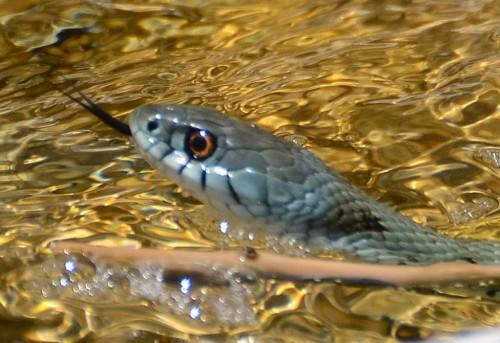 Montpellier slange Spania