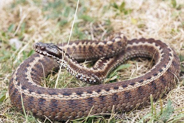 Seoanes Viper Slange Spania
