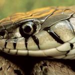 Farlige og giftige slanger i Spania