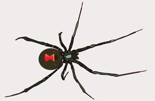 Black Widow Spider Spain