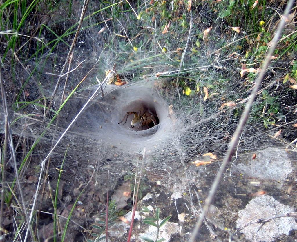 Mediterranean Funnel Web Spider