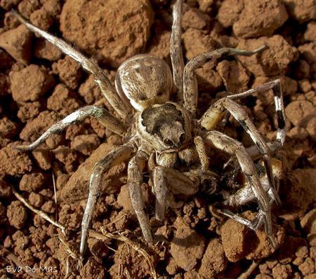 Mediterranean Tarantula Spider